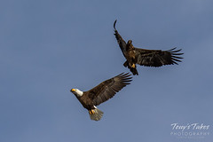 Bald Eagles battle for breakfast - Sequence - 40 of 42
