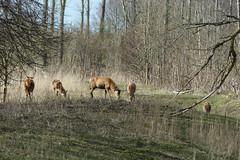 20160327-edelherten Kotterbos-2 (Edwin Pijpers) Tags: red deer almere oostvaardersplassen edelhert kotterbos