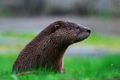 Otter in the Rain (Adam Wang) Tags: nature grass mammal wildlife otter riverotter