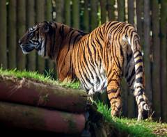 Tiger 5th March 2016 #1 (JDurston2009) Tags: zoo tiger devon sumatrantiger paignton paigntonzoo zoologicalgardens pantheratigrissumatrae paigntonzoologicalgardens