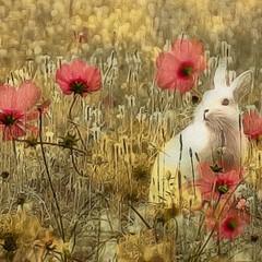 image (Dream Gate) Tags: white rabbit poppyfield