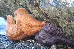 Orange and Purple Sea Stars (corey.raimond) Tags: animal marine starfish wildlife lowtide orcasisland tidepool seastar echinodermata orangeandpurple pisasterochraceus orangeseastar purpleseastar