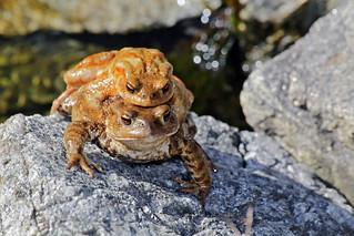 Valsesia - lago di Sant'Agostino, io l'ho trovata e me la tengo stretta!! rospo comune (Bufo Bufo)