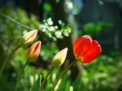 Spring (R_Ivanova) Tags: flowers red plant flower color green nature colors garden lights spring sony tulip     rivanova