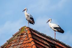 Zwei Einbeinige   [Explored] (fotomanni.de) Tags: bayern franken dach storch mittelfranken einbeinig laubenzedel