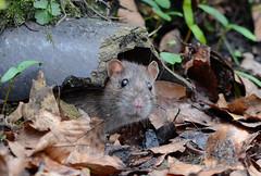 _DSC6625 (gupta.steve) Tags: nagetier nikon tamron ratte tier säugetier wanderratte