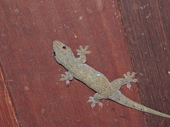 Gecko on Bora Bora (Craigs Travels) Tags: southpacific gecko tahiti borabora frenchpolynesia societyislands