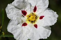 Pollination intensive (Capturedbyhunter) Tags: flower macro primavera portugal 1 spring focus pentax outdoor flor santarm fernando series manual marques vivitar k5 70210 foco ribatejo coruche esteva caador f284 focagem intensiva fajarda polnizao