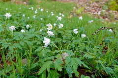 Buschwindrschen - 25-2016_Web (berni.radke) Tags: flower anemone bloom wald ranunculaceae bloosom buschwindrschen anemonenemorosa windflower blhen windrschen forestflowers hahnenfusgewchse