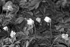 Buschwindrschen - 06-2016_Web (berni.radke) Tags: flower anemone bloom wald ranunculaceae bloosom buschwindrschen anemonenemorosa windflower blhen windrschen forestflowers hahnenfusgewchse