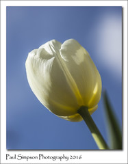 White Tulip (Paul Simpson Photography) Tags: sky flower nature sunshine photography whiteflower petals spring bluesky tulip bloom naturalworld naturephotography signsofspring beautifulnature springinengland imageof flowerphotography whitetulip photoof springtimeinengland imagesof sonya77 paulsimpsonphotography april2016 lookingupataflower