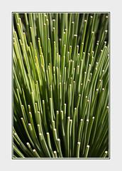 Blades (B.M.K. Photography) Tags: plant abstract closeup natural repetition blades grasstree photoborder