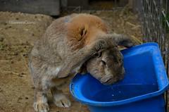Rabbit drinking water (eleonora_cicoria) Tags: rabbit water farm drinking animale coniglio