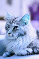 Blue moods (eagle1effi) Tags: blue female cat nikon chat pussy mainecoon felini housecat muschi domesticcat maincoon felis felissilvestris felissilvestriscatus hauskatze felinae bluelicious effiart miezigracesilvana effiart2016