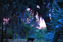 Sunset Cow (Gio-Photography) Tags: nikon dslr users d3000