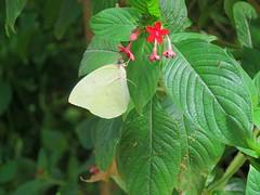 Catopsilia pomona 2 (barryaceae) Tags: house butterfly harbour australia nsw coffs the ausbutterfly