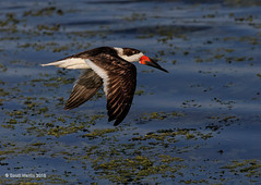 Skimmer Viera 2016_0023 (sugarzebra) Tags: bird canon inflight florida flight wetlands avian skimmer blackskimmer vireo skimming 1dx
