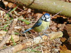Blue Tit in Tentsmuir forest (eric robb niven) Tags: forest cycling scotland fife outdoor bluetit tentsmuir ericrobbniven