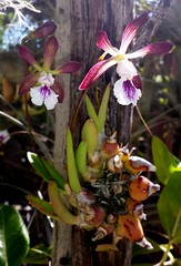 Encyclia pyriformis (epiphyte78) Tags: flowers orchid outdoors short round bloom backlit southerncalifornia epiphyte stout stocky pseudobulbs teapotorchid