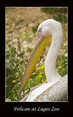 (cconnor124) Tags: pelicans birds animals naturalbeauty canoneos waterbirds zoos naturephotography largebirds lagoszoo canon100400lens canon760d