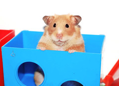 """""""My house!"""" ~ Tofi (pyza*) Tags: pet girl animal monster rodent furry critter fluffy hamster syrian hammie syrianhamster chomik tofcia tofinka"""