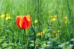 Tulipanorama (_Nick Outdoor Photography_) Tags: orange colore tulip prato blooming tulipano fioritura img5590 nickphotography tulipanorama