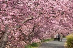 Sakura Tunnel (bamboo_sasa) Tags: pink flower japan cherry blossoms   sakura cherryblossoms  shizuoka izu  kawazu    minamiizu