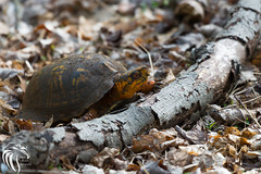 American Box Turtle at Yellow Brook (RGL_Photography) Tags: us newjersey unitedstates turtle wildlife monmouthcounty freehold jerseyshore mothernature boxturtle terrapene emydidae wildlifephotography americanboxturtle yellowbrook nikond610 boxtortoises nikonafs200500mmf56eedvr