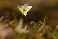 Vitsippa (evisdotter) Tags: flower macro nature spring bokeh blomma anemonenemorosa vitsippa woodanemone sooc