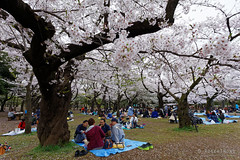20160405-053-Picnics under Yoyogi-koen cherry blossoms (Roger T Wong) Tags: travel people holiday japan garden balloons tokyo spring picnic crowd harajuku cherryblossoms canonef1740mmf4lusm yoyogikoen 2016 canon1740f4l canoneos6d rogertwong