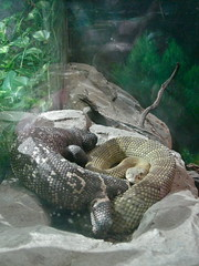 Rattlesnake and Mexican beaded lizard getting cozy (rasputina2) Tags: zoo losangeles rattlesnake gilamonster mexicanbeadedlizard