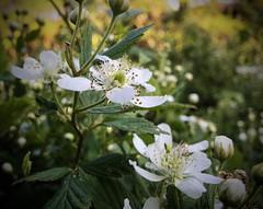 116/366 Blackberries To Be (Bernie Anderson) Tags: flower nature flora backyard blackberry greenville greenvillesc project365 500px project366 ifttt yeahthatgreenville