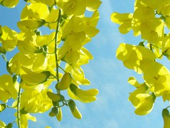 103_1267 (maszat15) Tags: flower color yellow virg aranyes laburnumwatereri srgaakc