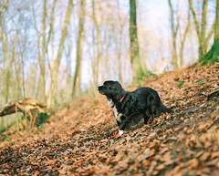 the wild bunch (nils_karlson) Tags: dog chien colour 120 mamiya film mediumformat germany landscape kodak ishootfilm 120film perro hund portra rz67 colournegative kodakmoment portra800 c41 kodakportra800 110mm mamiyarz67 carlzeissbiometar80mm ukfilmlab ukfl rudigerthelandscapedog rdigerthelandscapedog