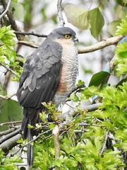 Male Sparrowhawk (Wanderer105 (Christine Cassidy )) Tags: irish birds wildlife raptor prey raptors birdwatch rspb
