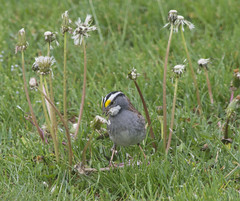 Birbs in My Yard (riknran-can) Tags: nature grass birds animals spring sparrows dandelions