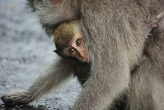 Bali, Indonesia (margoosia) Tags: family bali indonesia monkey