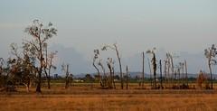 storm damage (dustaway) Tags: autumn landscape australia nsw australianlandscape stormdamage lateafternoon casuarinaglauca casuarinaceae northernrivers australiantrees swampoak oaklandroad richmondvalley richmondriverfloodplains eastcoraki