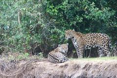 Jaguar (helmutnc) Tags: hg sweetfreedom specanimal hennysanimals