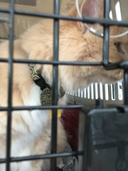"""""""I only fly first class..."""" (sjrankin) Tags: sanfrancisco california animal northerncalifornia cat blurry edited sanfranciscoairport norio 11april2016"""