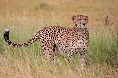 Cheetah (IrinaSto) Tags: africa nature animals feline kenya wildlife safari bigcat cheetah savannah masaimara wildanimals naboisho
