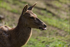 Calke Abbey 300mm PF f4 Test Shots - 160430 - 654 (i-Tony) Tags: test abbey tongue ed nikon rude deer 300mm d750 nikkor nationaltrust vr afs pf f4e calke