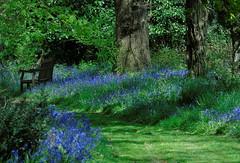 Bluebells 2 (samm.doyle) Tags: blue nature bluebells bells hampshire british tranquil springtime gosport wildgrounds