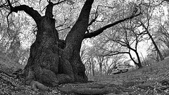 old cherry tree in monochrome (16x9 widescreen copy) (norlandcruz74) Tags: park county new trees bw usa america cherry point us spring flora branch view perspective nj cruz jersey april filipino brook framing viewpoint essex bnw pilipino pinoy filam 2016 norland