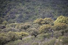 Encinas (ramosblancor) Tags: trees plants naturaleza verde green primavera nature landscape spring plantas rboles paisaje monfrage extremadura encinas holmoak quercusilex mediterraneanforest montemediterrneo