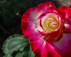 Rose Double Delight (Steffano44) Tags: red white rose tea blossom rosa double bee delight bloom hybrid bicolor scented