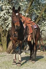 Rancho Groblice (agnieszka.rumiska) Tags: horse western halter saddle awn