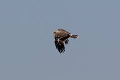 Immature Eastern Imperial Eagle  at Raysut S24A8204 (grebberg) Tags: bird water march eagle raptor immature ponds oman birdofprey treatment 2016 salalah dhofar aquilaheliaca easternimperialeagle raysut