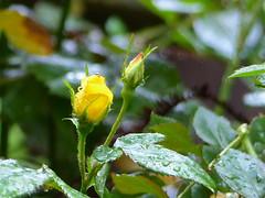 Roses in Rain - EXPLORE #226, 04.09.16. (Kazooze) Tags: roses flower nature leaves rain bokeh outdoor explore raindrops flutterby rosebuds sooc yellowrosebuds