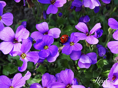 Nature is colorful (HeyCo Photography) Tags: pink flowers blue red black france macro cute nature beautiful garden insect spring colorful day view purple sony sunny cybershot spots tiny ladybird ladybug important minuscule